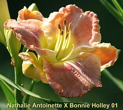 daylily breeding