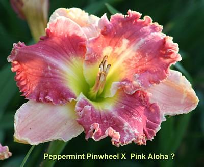daylily progeny