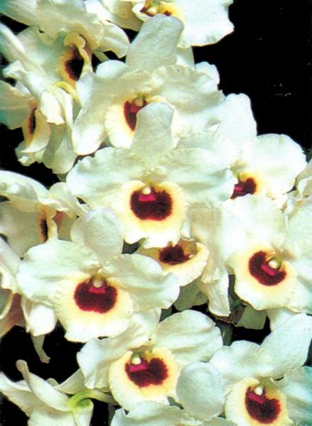 dendrobium nobile white pony  u0026 39 akamatu u0026 39